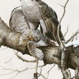Goshawk and Grouse